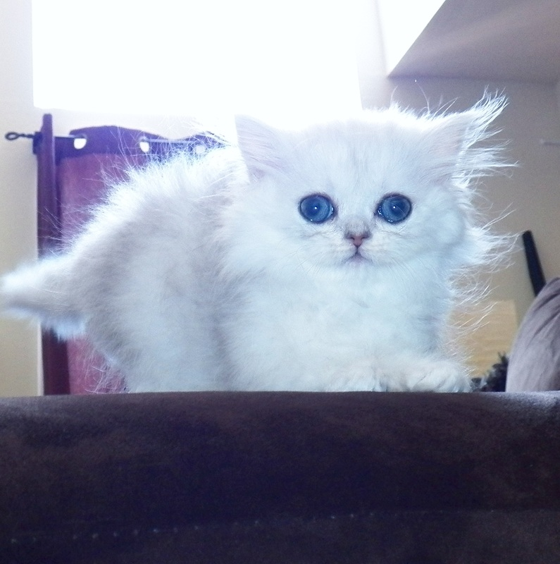 Past Persian Kittens - Kelskits Silver Persian & Golden